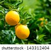 Ripe oranges hanging on a tree - stock photo