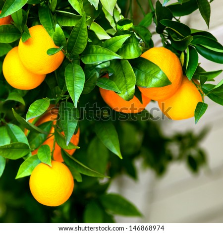 Ripe oranges hanging on a tree - stock photo