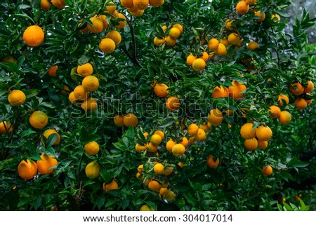 Ripe oranges on a tree branch - stock photo