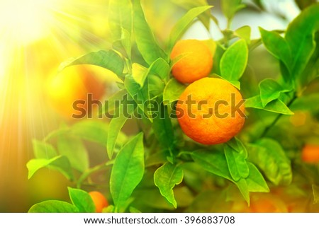 Ripe oranges or tangerines hanging on a tree. Beautiful Healthy organic juicy orange growing in Sunny Orchard - stock photo