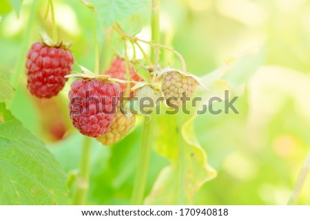 Ripe organic raspberries on branch ready for pick up