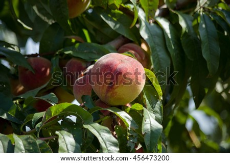 ripe peach fruit on the tree