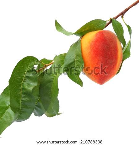 Ripe peach fruit on the tree. White background isolated  - stock photo