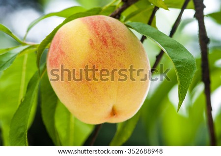 Ripe peach fruits on the tree in garden.