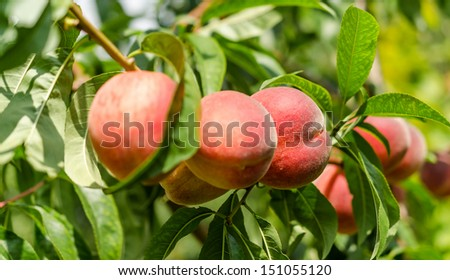 Ripe peaches fruits on a branch - stock photo