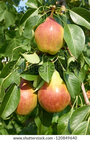 Ripe pear fruit hanging on a tree branch in the bright sunlight. Close-up - stock photo
