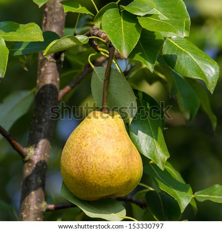 Ripe pear fruits hanging on a tree branch