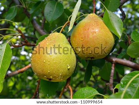 Ripe pear grows on a branch among green leaves. - stock photo
