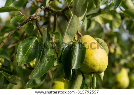 Ripe pear hanging in tree