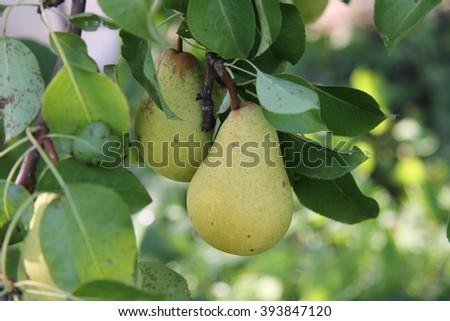 ripe pears - stock photo