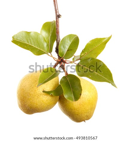 Ripe pears on a branch with leaves. isolated on white background