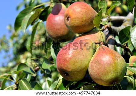 ripe pears on a tree in the orchard - stock photo