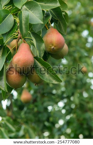 Ripe Pears on Pear Tree - stock photo