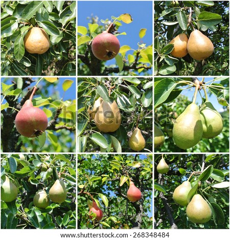 Ripe pears on the tree in a orchard, on a sunny summer day. Photo collage. - stock photo
