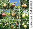 Ripe pears on the tree in a orchard, on a sunny summer day. Photo collage. Concept of organic farming; fresh, natural, unprocessed fruit. - stock photo
