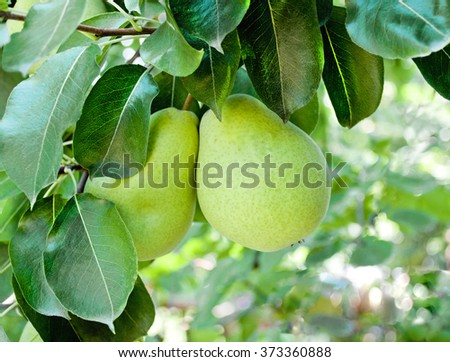 Ripe pears on tree branch. Organic pears in the garden. Pear fruit on the tree in the fruit garden - stock photo