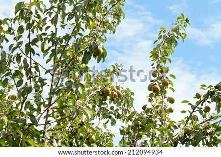 ripe pears on tree branches in fruit orchard - stock photo