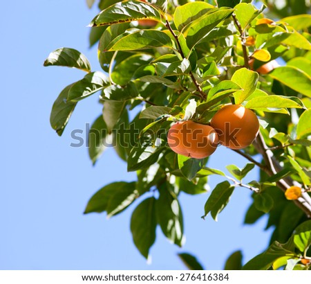 Ripe persimmon fruit on the tree - stock photo