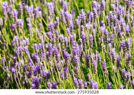 Ripe pink lavender bush - stock photo