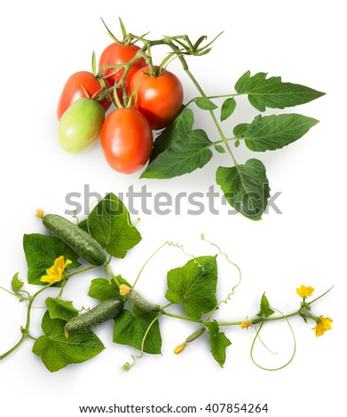 Ripe plum pink tomato and widely cultivated plant in gourd family Cucurbitaceae. Vine with fresh unripe fruits, fading yellow buds, lush green foliage, curled tendril. Closeup view with clipping path