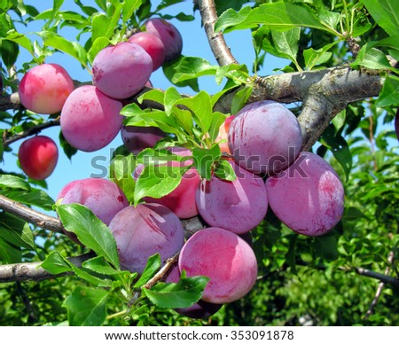 ripe plums on a tree branch in the orchard           - stock photo