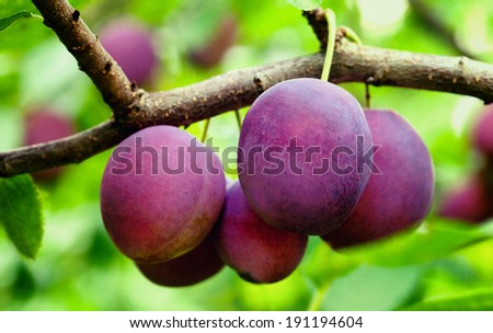 Ripe plums on the tree  - stock photo