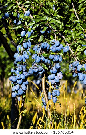 Ripe plums on the tree.Plum trees orchard - stock photo