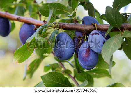 Ripe plums with green leaves on a branch. fresh berries. selective Focus - stock photo