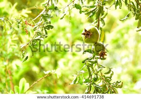 Ripe pomegranate on the branch. - stock photo