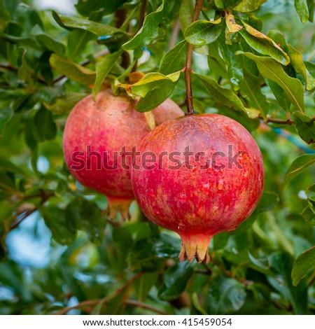 Ripe pomegranites on a tree ready for harvest. - stock photo