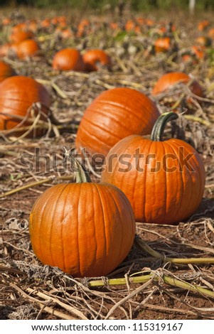 Ripe pumpkins in a farm field were frost has killed back all the leaves and vines.