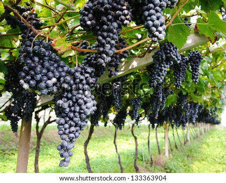 Ripe purple grapes hanging on the vine framed with fresh green leaves. - stock photo