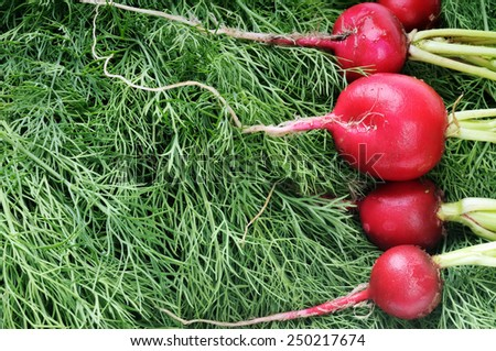 Ripe radish and green dill.Green background and red vegetables. - stock photo