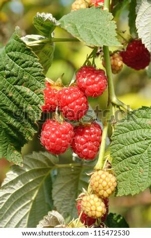 Ripe raspberries on a branch - stock photo