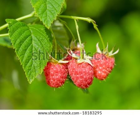 Ripe raspberry, hanging on a bush - stock photo