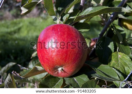 Ripe red apple growing in an orchard ready for harvest. - stock photo