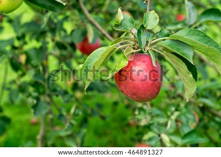 Ripe red apple on a branch of apple tree on a sunny day. Organic farming/agriculture; fresh, healthy, natural, unprocessed produce.