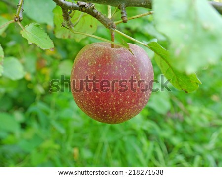 ripe red apple on an apple tree - stock photo
