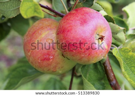 Ripe red apples in drops of water after rain hanging on a branch