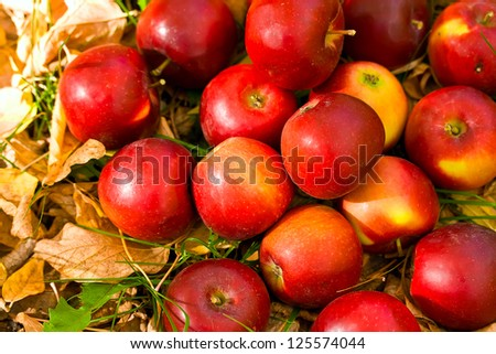 ripe red apples in grass and leaves - stock photo