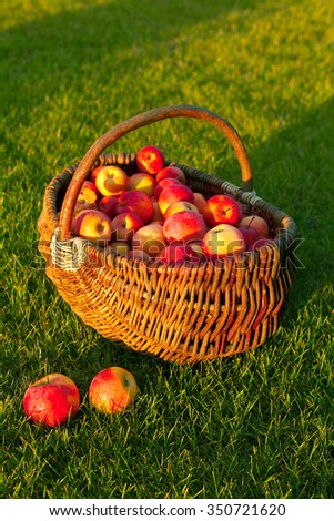Ripe red apples in the basket on the green grass