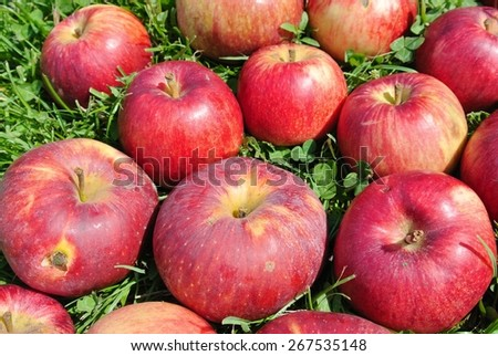 Ripe red apples on the grass on a sunny summer day. - stock photo