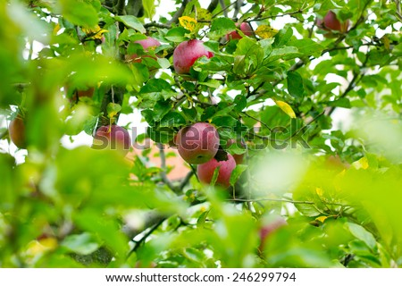 Ripe red apples on the tree - stock photo