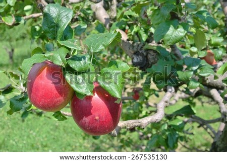 Ripe red apples on the tree in an orchard, on a sunny summer day. - stock photo