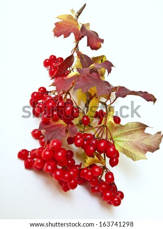 Ripe red arrowwood in garden late autumn - stock photo
