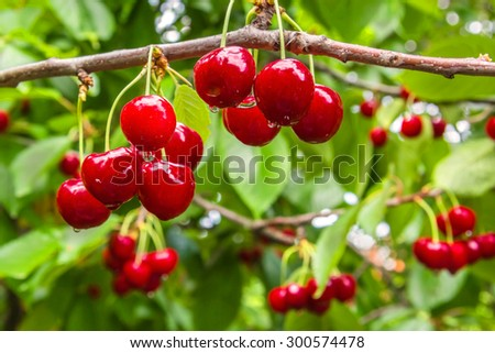 Ripe red berries of a sweet cherry on a branch in a garden in the rain, close up. Selective focus - stock photo
