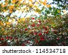 ripe red elderberry against autumn leaves - with a strong background blur - stock photo
