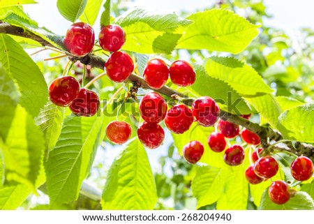 Ripe, red fruit cherries on a branch in a sunny summer day closeup, backlit - stock photo