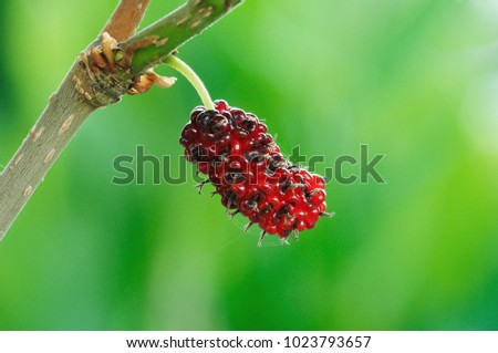 Ripe red fruit on the branches of mulberry.