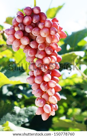 ripe red grape in vineyard in sunny summer day - stock photo